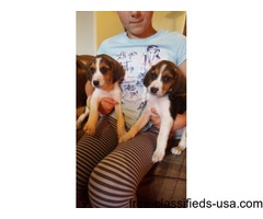 Beautiful Beagle Pups Ready Now One Girl 2boys Left