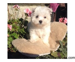 If you are looking for Maltese for sale