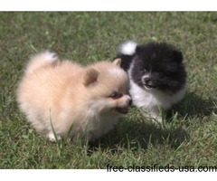 If you are looking for Pomeranian for sale