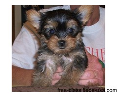 If you are looking for Yorkie for sale