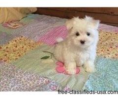 Top Cute AKC Tea-Cup Maltese Puppies