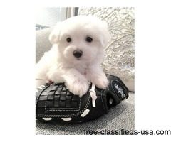 Male/Female Cute AKC Tea-Cup Maltese Puppies Now Available.