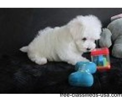 Potty Trained T-Cup Maltese  Puppies Now Available