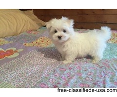 AKC Baby Doll Faces T-Cup Maltese  Puppies Now Available.