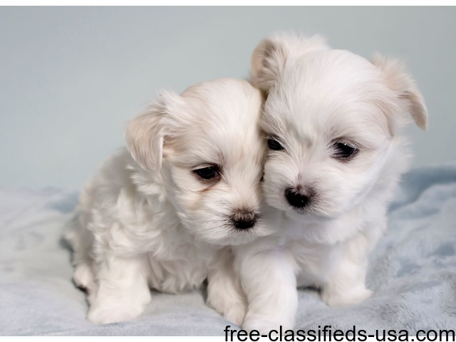 Two Malefemale Tcup Maltese Puppies Available Animals Albert