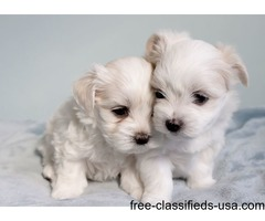 Two Male/Female Tcup Maltese Puppies Available