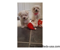 Two Male/Female Tcup Maltese Puppies.