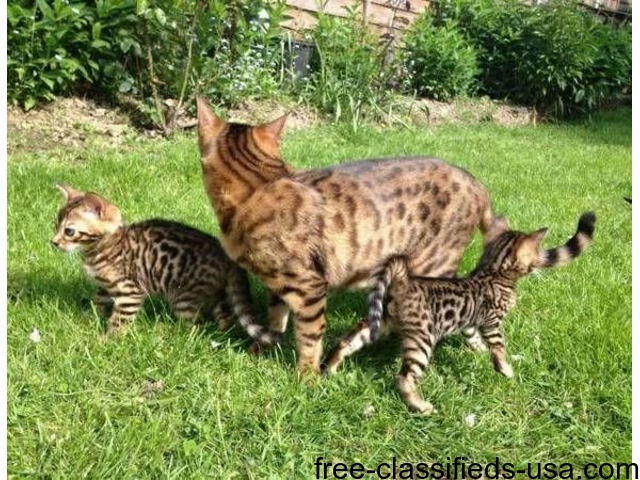 Bengal kittens salem oregon