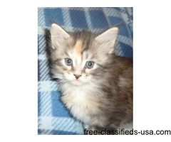 Charming Maine Coon Kittens For Sale