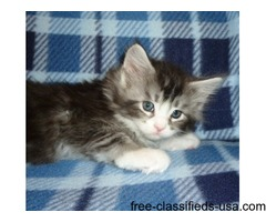 Explicit Maine Coon Kittens For Sale