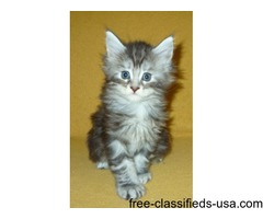 Quality Maine Coon Kittens For Sale