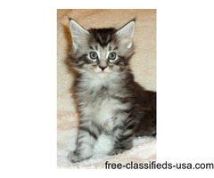 Vet Checked Maine Coon Kittens For Sale