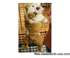 Adorable English Bulldog Puppies | free-classifieds-usa.com