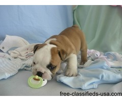 Super Adorable AKC English Bulldog