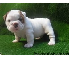 Amazing english bulldog puppies