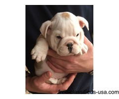 Well Trained Precious English Bulldog Puppies