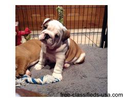 Beautiful English Bulldog Puppies