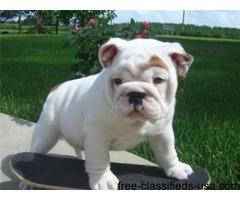 (Registered Purebred) American Bulldog Puppies for Sale