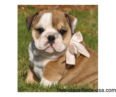 Amazing English Bulldogs Available For Adoption