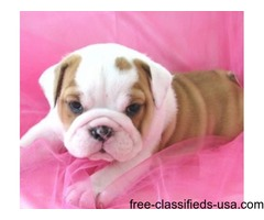 Beautiful English Bulldog Puppies