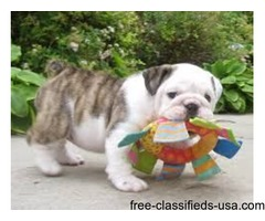 Well Trained Gorgeous English Bulldog Puppies