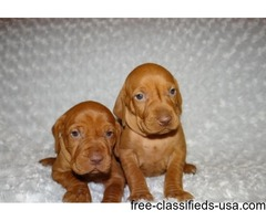 bravee Beautiful male/female Vizsla for sale.