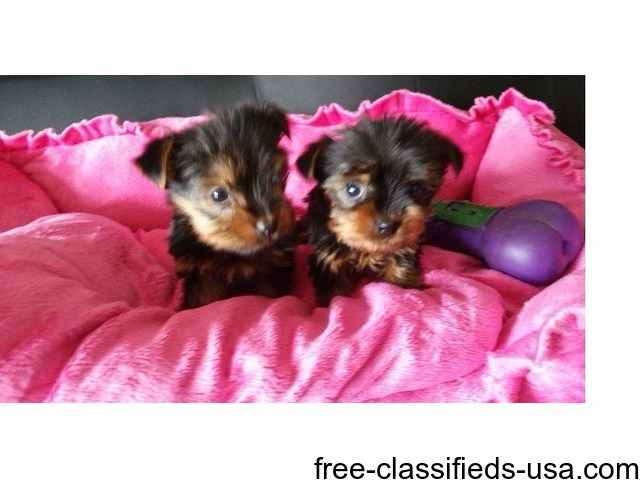 Gorgeous male and female teacup YORKIE PUPPIES | free-classifieds-usa.com