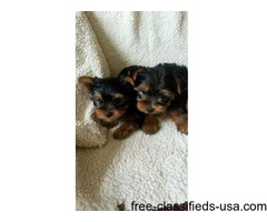 AKC Yorkshire Terrier puppies ready now