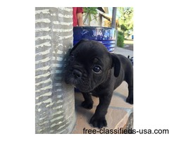 sweet littl french bulldog puppies available for sale
