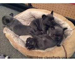 Brave french bulldog pups available