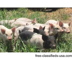 Farm Animals: Chickens & Pigs