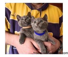 Russian Blue Tica Reg Kittens - Boys