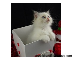 Blue Bi-colour Ragdoll kitten Boy and Girl Full Pedigree Gccf Reg