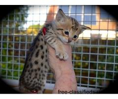 Amazing F7 Sbt Savannahs Kitten