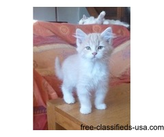 Cool Cats Siberian Cream Boy