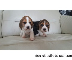 Show Beagles Short And Cobby Type