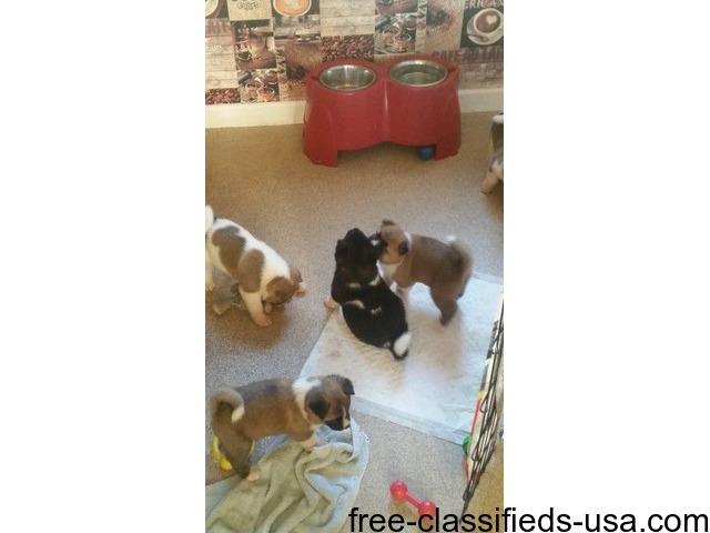 American Akita Pups For Sale | free-classifieds-usa.com