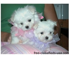 Three Teacup Maltese Puppies Needs a New Family