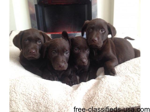 Gorgeous Labrador Puppies | free-classifieds-usa.com