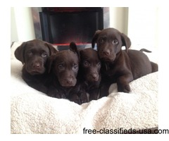 Gorgeous Labrador Puppies