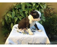 (american Boston Terrier Red Bloodlines)hc-hsf4 Clear