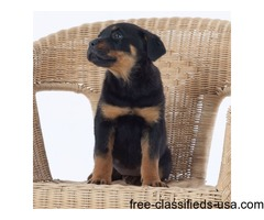 10 weeks old Rottweiler Puppies for Adoption