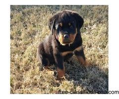 Top Quality Rottweiler Puppies | free-classifieds-usa.com