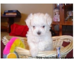 Adorable outstanding Maltese puppies ready