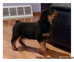 Top quality Rottweiler puppies