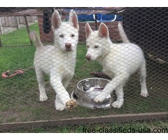 pure bred Siberian husky puppies for adoption-