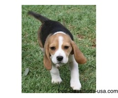 Beautiful Beagle Pups Available