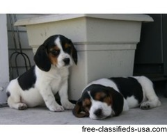 Excellent Male And Female Beagle Puppies Ready