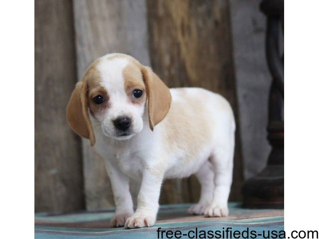 Charming Beagle Puppies For New You Home Animals Alanson