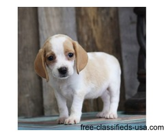 charming beagle puppies for new you home